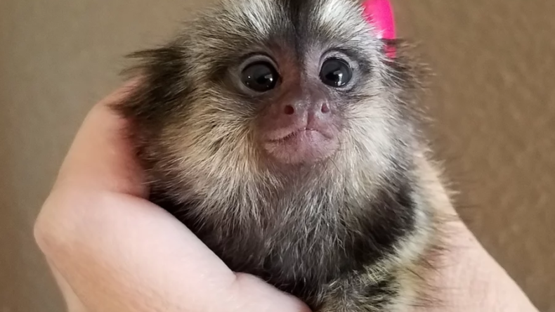 Baby Common Marmoset For Sale