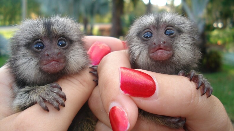 Have you thought of getting a baby Capuchin monkey?