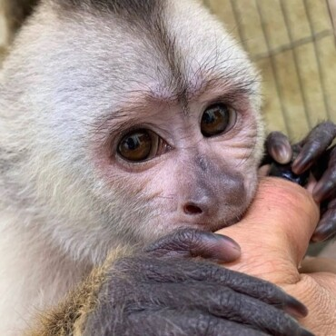 Whiteface Capuchin Monkey For Sale