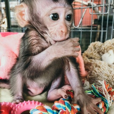 Macaque Monkeys For Sale