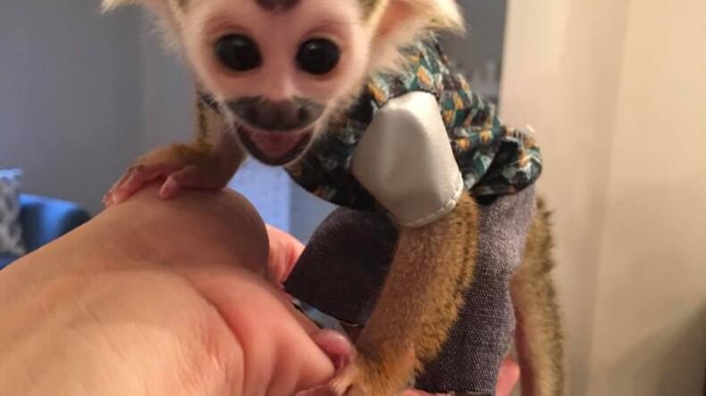 Buy Squirrel Monkey